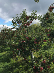 apple picking near Galena