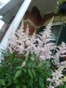 White astilbe close-up