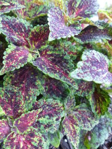Red and green coleus plants