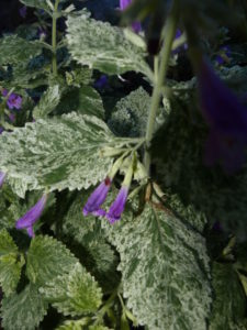 Showy Mint plant with purple blooms