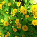 bright yellow flowers with bright green leaves